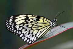 Mariposa de la ninfa del árbol del mangle fotografía de archivo libre de regalías