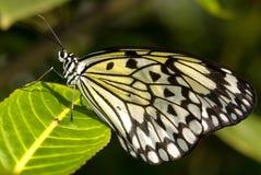 Mariposa de la ninfa del árbol (idea Leuconoe) fotografía de archivo libre de regalías