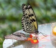 Mariposa de la ninfa del ?rbol o mariposa del papel de arroz, leuconoe de la idea en las flores fotos de archivo