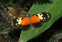 Mariposa de la noche imagen de archivo libre de regalías