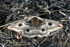 Mariposa de la noche del emperador en bosque del pino de Jutlandia fotografía de archivo
