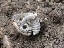 Mariposa de la noche. Una polilla. Fotos de archivo libres de regalías
