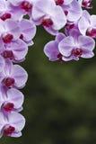 Mariposa de la orquídea Foto de archivo libre de regalías