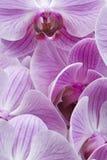 Mariposa de la orquídea Fotos de archivo libres de regalías