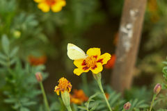 Mariposa de la perla Fotos de archivo libres de regalías