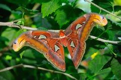 Mariposa de la polilla de atlas Foto de archivo libre de regalías