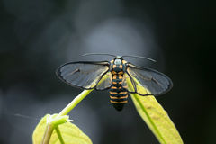 Mariposa de la polilla en Tailandia Foto de archivo