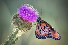 Mariposa de la reina Fotos de archivo libres de regalías