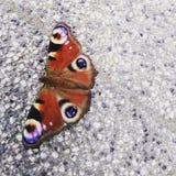 Mariposa de la reina imagen de archivo