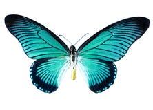 Mariposa de la turquesa Imágenes de archivo libres de regalías