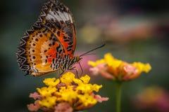 Mariposa de Lacewing Fotografía de archivo