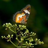 Mariposa de Lacewing del leopardo Imágenes de archivo libres de regalías