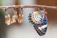 Mariposa de Lacewing del leopardo Foto de archivo