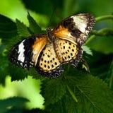 Mariposa de Lacewing del Malay Foto de archivo