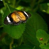 Mariposa de Lacewing del Malay Imágenes de archivo libres de regalías