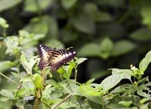Mariposa de las podadoras Imágenes de archivo libres de regalías