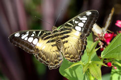 Mariposa de las podadoras Fotografía de archivo libre de regalías