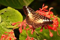 Mariposa de las podadoras de Brown Imágenes de archivo libres de regalías