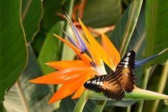 Mariposa de las podadoras de Brown en una floración de la ave del paraíso Imagen de archivo libre de regalías