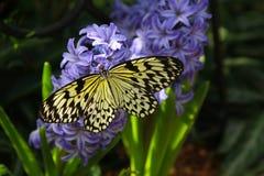 Mariposa de Leuconoe de la idea Fotos de archivo