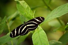 Mariposa de Longtail de la cebra Fotos de archivo