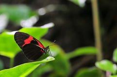 Mariposa de Longwing Foto de archivo
