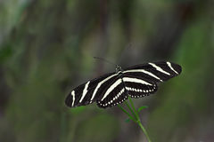 Mariposa de Longwing de la cebra Foto de archivo libre de regalías