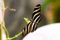 Mariposa de Longwing de la cebra Fotos de archivo libres de regalías