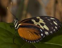 Mariposa de Longwing del tigre Imagen de archivo