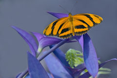 Mariposa de Longwing del tigre Imagenes de archivo
