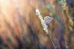 mariposa de los azules en la hierba Imagen de archivo libre de regalías