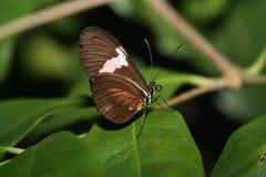 Mariposa de los carteros Imagen de archivo