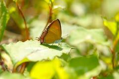 Mariposa de los epicles de LycaenidaeHeliophorus en una planta Foto de archivo