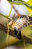 Mariposa de los euanthes del cyane de Cethosia del lacewing del leopardo Imágenes de archivo libres de regalías