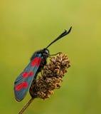 Mariposa de los filipendulae de Zygaena en luz caliente Fotografía de archivo libre de regalías