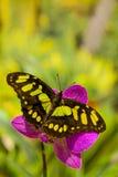 Mariposa de los stelenes de Siproeta en la flor de la orquídea Imagenes de archivo