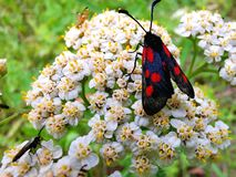 Mariposa de luto imagen de archivo