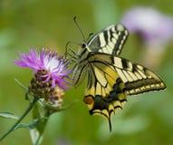 Mariposa de Machaon en Centaurea Fotos de archivo