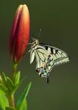 Mariposa de Machaon en lirio Imagen de archivo