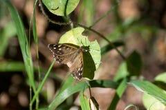 Mariposa de madera manchada Foto de archivo libre de regalías
