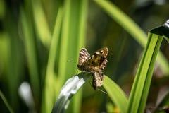 Mariposa de madera manchada (aegeria de Pararge) Fotografía de archivo
