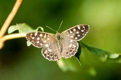 Mariposa de madera manchada del retrato del insecto Imagen de archivo