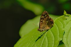 Mariposa de madera que se sienta en una hoja verde - aegeria de Speckeld de Pararge Foto de archivo libre de regalías