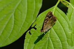 Mariposa de madera de Speckeld con las alas cerradas que se sientan en una hoja verde, aegeria de Pararge de la visión desde arri Fotos de archivo libres de regalías