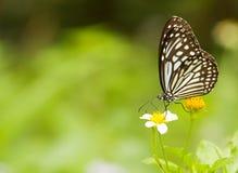 Mariposa de Milkweed Imagenes de archivo