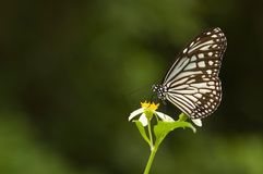Mariposa de Milkweed (series de la mariposa) Fotos de archivo
