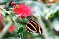 Mariposa de milkweed tropical del cleobaea del halia de Tiger Mimic Lycorea de la mariposa Fotografía de archivo