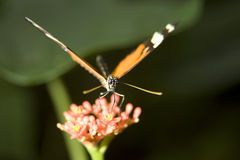 Mariposa de monarca imágenes de archivo libres de regalías