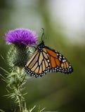 Mariposa de monarca Foto de archivo libre de regalías