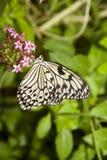 Mariposa de monarca blanca Foto de archivo libre de regalías